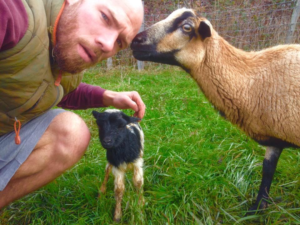Les moutons du cameroun à la ferme Terre à Terre