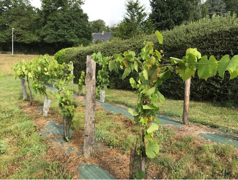 Palissage et rognage des vignes, pourquoi et comment ? @ Vignoble du Château-des-Moines-Larose
